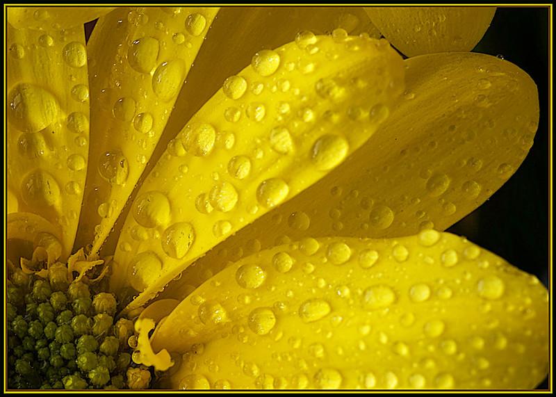 Yellow Rain by Nikon_Mario