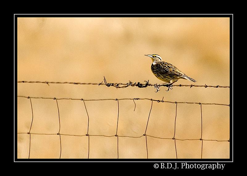 Meadowlark... by shutterbug2007