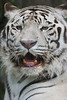 White Bengal Tiger by Tyger