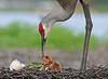 Birth of a Sandhill Crane by Jim Neiger