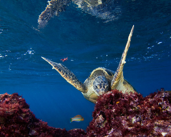 "<a href=""http://www.photographycorner.com/forum/showthread.php?t=82329"">Another Turtle From Maui</a> by <a href=""http://www.photographycorner.com/forum/member.php?u=13294"">Reeflections</a>"