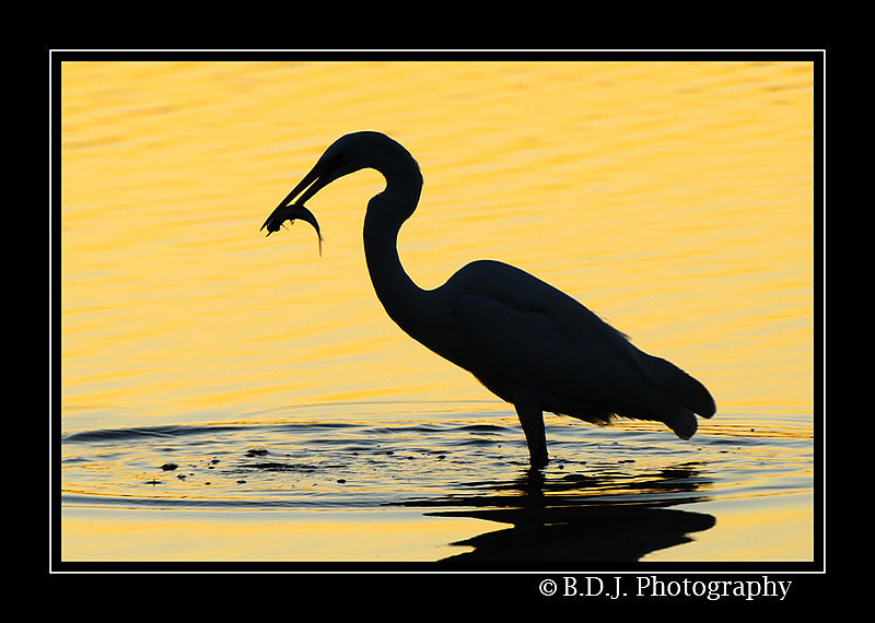"""<a href=""""http://www.photographycorner.com/forum/showthread.php?t=88511"""">Egret Silhouette...</a> by <a href=""""http://www.photographycorner.com/forum/member.php?u=2897"""">shutterbug2007</a>"""