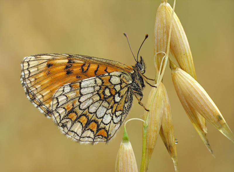 """<a href=""""http://www.photographycorner.com/forum/showthread.php?t=88221"""">Fritillary</a> by <a href=""""http://www.photographycorner.com/forum/member.php?u=15570"""">benas</a>"""