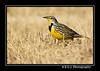 "<a href=""http://www.photographycorner.com/forum/showthread.php?t=81357"">Western Meadowlark...</a> by <a href=""http://www.photographycorner.com/forum/member.php?u=2897"">shutterbug2007</a>"