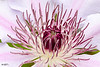 """<a href=""""http://www.photographycorner.com/forum/showthread.php?t=84223"""">Clematis is Blooming Very Nicely This Year</a> by <a href=""""http://www.photographycorner.com/forum/member.php?u=10811"""">RogersDA</a>"""