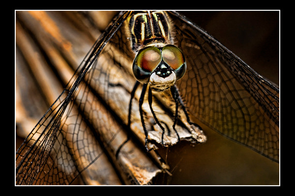 """<a href=""""http://www.photographycorner.com/forum/showthread.php?t=83440"""">Dragon Topazed</a> by <a href=""""http://www.photographycorner.com/forum/member.php?u=12688"""">jaharris1001</a>"""