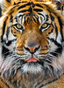 "<a href=""http://www.photographycorner.com/forum/showthread.php?t=83063"">Panthera Tigris Sumatrae</a> by <a href=""http://www.photographycorner.com/forum/member.php?u=1590"">Brad V</a>"