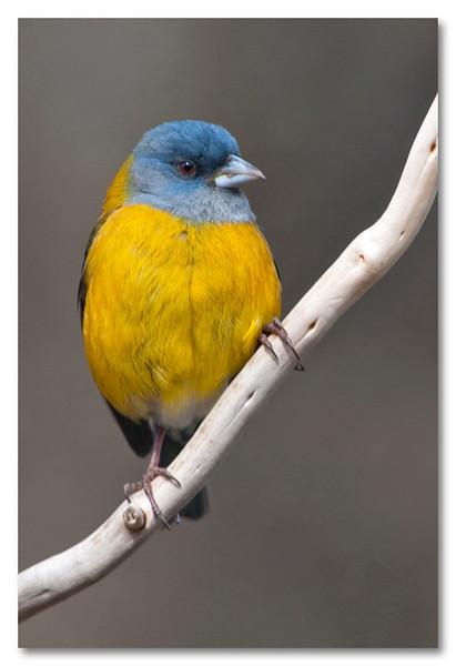 """<a href=""""http://www.photographycorner.com/forum/showthread.php?t=88092"""">Patagonian Sierra Finch</a> by <a href=""""http://www.photographycorner.com/forum/member.php?u=10422"""">tamara</a>"""