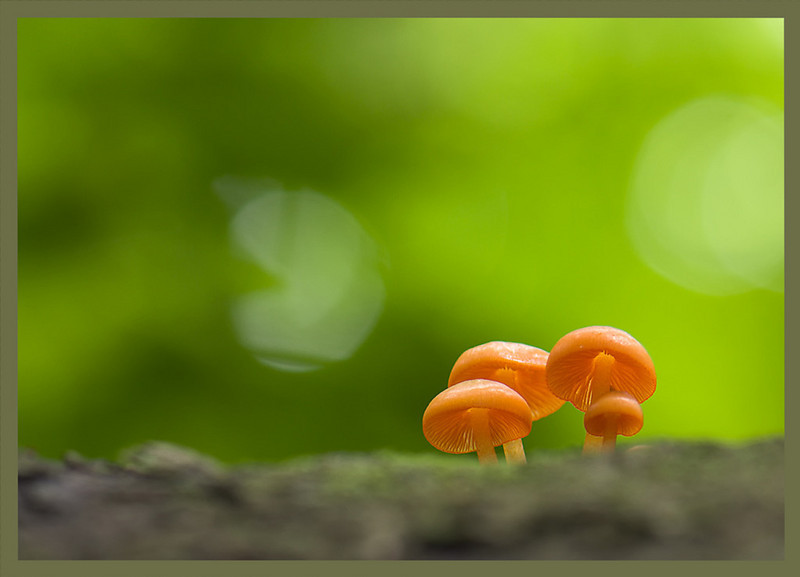 "<a href=""http://www.photographycorner.com/forum/showthread.php?t=87613"">Orange Mycenas Mushrooms</a> by <a href=""http://www.photographycorner.com/forum/member.php?u=15635"">D.Rodgers</a>"