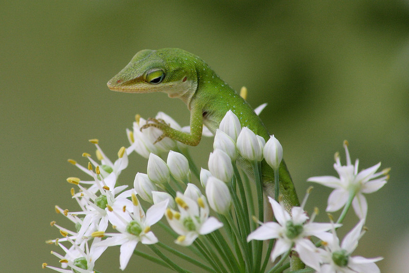 """<a href=""""http://www.photographycorner.com/forum/showthread.php?t=87310"""">Green Anole</a> by <a href=""""http://www.photographycorner.com/forum/member.php?u=14667"""">speedinjen</a>"""