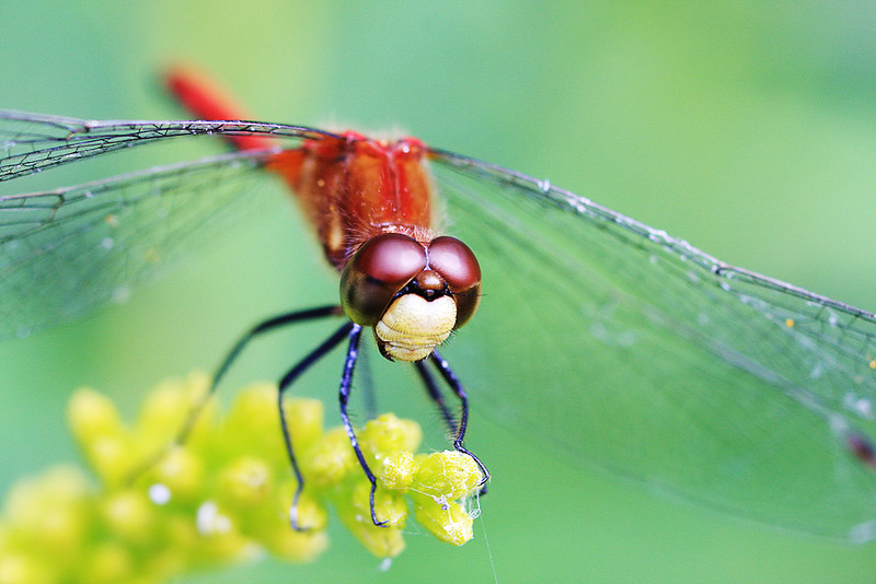 "<a href=""http://www.photographycorner.com/forum/showthread.php?t=86974"">White Faced Meadowhawk</a> by <a href=""http://www.photographycorner.com/forum/member.php?u=3277"">Tyger</a>"