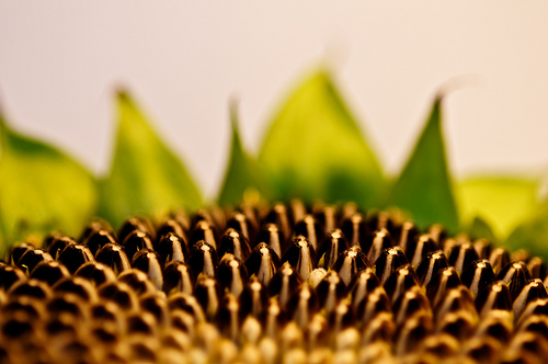 """<a href=""""http://www.photographycorner.com/forum/showthread.php?t=86388"""">Sunflower Seedlings</a> by <a href=""""http://www.photographycorner.com/forum/member.php?u=11063"""">BrokenPerfection</a>"""