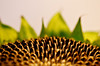 "<a href=""http://www.photographycorner.com/forum/showthread.php?t=86388"">Sunflower Seedlings</a> by <a href=""http://www.photographycorner.com/forum/member.php?u=11063"">BrokenPerfection</a>"