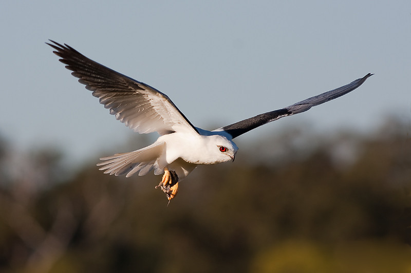 """<a href=""""http://www.photographycorner.com/forum/showthread.php?t=86627"""">Black Shouldered Kite with Dinner</a> by <a href=""""http://www.photographycorner.com/forum/member.php?u=11342"""">wayne_eddy</a>"""