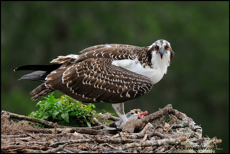 """<a href=""""http://www.photographycorner.com/forum/showthread.php?t=93173"""">Juvenile Osprey</a> by <a href=""""http://www.photographycorner.com/forum/member.php?u=17674"""">Eric Diller</a>"""