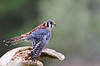 "<a href=""http://www.photographycorner.com/forum/showthread.php?t=92864"">American Kestrel at Rest</a> by <a href=""http://www.photographycorner.com/forum/member.php?u=17303"">Vince Maidens</a>"