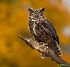 "<a href=""http://www.photographycorner.com/forum/showthread.php?t=95143"">Great Horned Owl on Yellow</a> by <a href=""http://www.photographycorner.com/forum/member.php?u=17303"">Vince Maidens</a>"