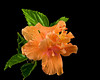 "<a href=""http://www.photographycorner.com/forum/showthread.php?t=95107"">Layered Hibiscus</a> by <a href=""http://www.photographycorner.com/forum/member.php?u=13294"">Reeflections</a>"