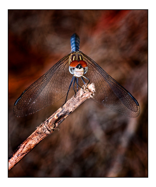 "<a href=""http://www.photographycorner.com/forum/showthread.php?t=94962"">Blue Dasher Dragonfly</a> by <a href=""http://www.photographycorner.com/forum/member.php?u=12688"">jaharris1001</a>"