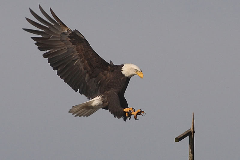 """<a href=""""http://www.photographycorner.com/forum/showthread.php?t=89408"""">The Eagle Has Landed...</a> by <a href=""""http://www.photographycorner.com/forum/member.php?u=337"""">squirl033</a>"""