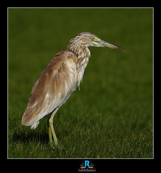 """<a href=""""http://www.photographycorner.com/forum/showthread.php?t=89585"""">Pond Heron</a> by <a href=""""http://www.photographycorner.com/forum/member.php?u=15836"""">rahil</a>"""