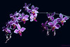 "<a href=""http://www.photographycorner.com/galleries/showphoto.php/photo/32760"">Phalaenopsis Equestris</a> by <a href=""http://www.photographycorner.com/forum/member.php?u=15877"">Gianna Bechtel</a>"