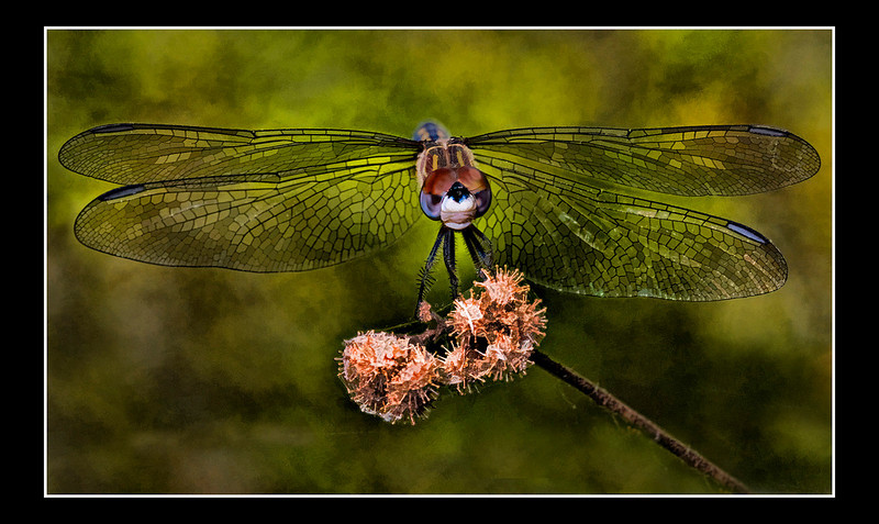 """<a href=""""http://www.photographycorner.com/forum/showthread.php?t=91809"""">Dragonfly w/ Stained Glass Wings</a> by <a href=""""http://www.photographycorner.com/forum/member.php?u=12688"""">jaharris1001</a>"""