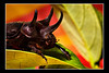 "<a href=""http://www.photographycorner.com/forum/showthread.php?t=92300"">Rhinoceros Beetle</a> by <a href=""http://www.photographycorner.com/forum/member.php?u=12688"">jaharris1001</a>"
