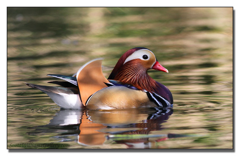 """<a href=""""http://www.photographycorner.com/forum/showthread.php?t=90502"""">Mandarin Duck</a> by <a href=""""http://www.photographycorner.com/forum/member.php?u=14030"""">Scott W</a>"""