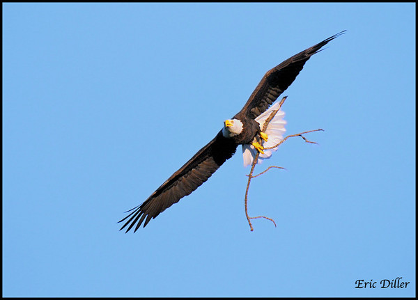 "<a href=""http://www.photographycorner.com/forum/showthread.php?t=94646"">Bald Eagle Next Under Construction!</a> by <a href=""http://www.photographycorner.com/forum/member.php?u=17674"">Eric Diller</a>"