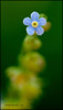 "<a href=""http://www.photographycorner.com/forum/showthread.php?t=94541"">Forget Me Not</a> by <a href=""http://www.photographycorner.com/forum/member.php?u=11348"">jerrywb</a>"