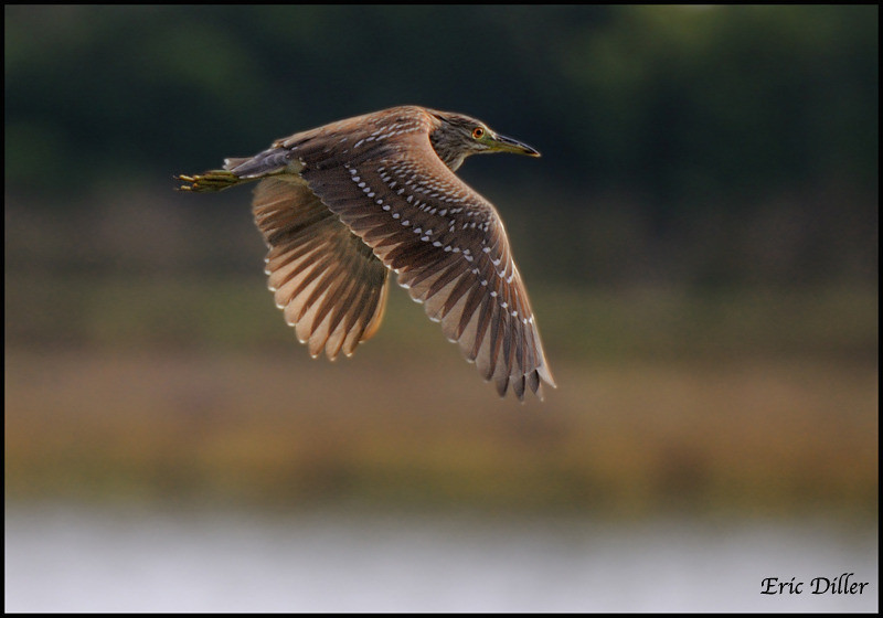 "<a href=""http://www.photographycorner.com/forum/showthread.php?t=94695"">Black Crowned Night Heron in Flight</a> by <a href=""http://www.photographycorner.com/forum/member.php?u=17674"">Eric Diller</a>"