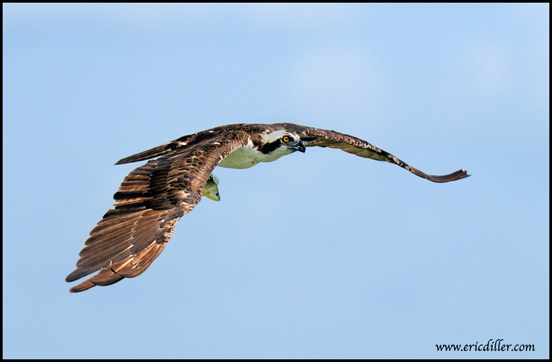 """<a href=""""http://www.photographycorner.com/forum/showthread.php?t=93462"""">Osprey Catches One Little Fish!</a> by <a href=""""http://www.photographycorner.com/forum/member.php?u=17674"""">Eric Diller</a>"""