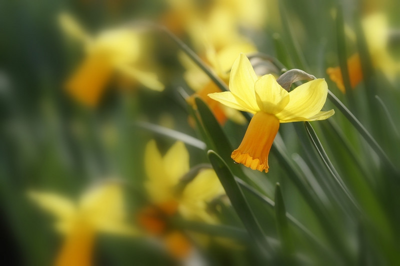 "<a href=""http://www.photographycorner.com/galleries/showphoto.php/photo/40140"">Daffodil</a> by <a href=""http://www.photographycorner.com/forum/member.php?u=17791"">william88</a>"