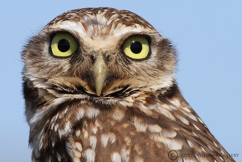 """<a href=""""http://www.photographycorner.com/forum/showthread.php?t=97014"""">More Burrowing Owls</a> by <a href=""""http://www.photographycorner.com/forum/member.php?u=14030"""">Scott W</a>"""