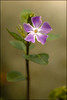 """<a href=""""http://www.photographycorner.com/forum/showthread.php?t=97216"""">First Signs of Spring - Vinca</a> by <a href=""""http://www.photographycorner.com/forum/member.php?u=5912"""">Markulous</a>"""
