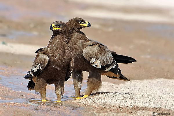 "<a href=""http://www.photographycorner.com/forum/showthread.php?t=99735"">Steppe Eagle</a> by <a href=""http://www.photographycorner.com/forum/member.php?u=20004"">carlogalliani</a>"