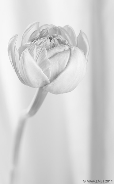 "<a href=""http://www.photographycorner.com/forum/showthread.php?t=99361"">Tulips</a> by <a href=""http://www.photographycorner.com/forum/member.php?u=12315"">MAAQ</a>"