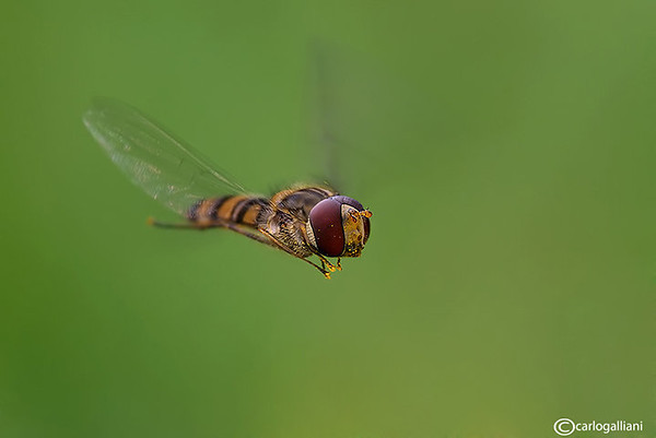 "<a href=""http://www.photographycorner.com/forum/showthread.php?t=101819"">Episyrphus Balteatus in Flight</a> by <a href=""http://www.photographycorner.com/forum/member.php?u=20004"">carlogalliani</a>"