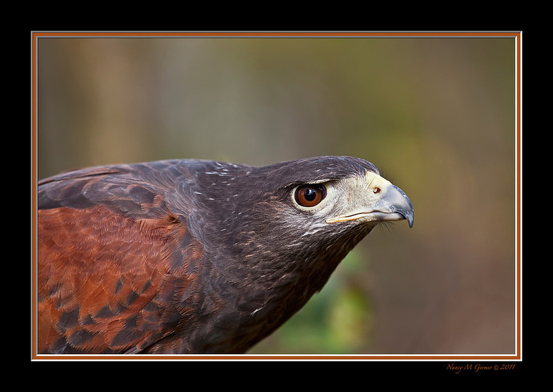 "<a href=""http://www.photographycorner.com/forum/showthread.php?t=101430"">Portrait of Harrier Hawk</a> by <a href=""http://www.photographycorner.com/forum/member.php?u=19444"">Nancy C</a>"