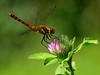 "<a href=""http://www.photographycorner.com/galleries/showphoto.php/photo/39493"">Dragonfly in Summer</a> by <a href=""http://www.photographycorner.com/forum/member.php?u=19309"">Putunetika</a>"