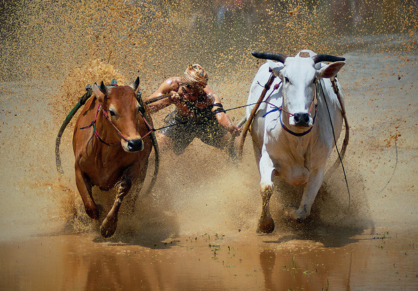"""<a href=""""http://www.photographycorner.com/galleries/showphoto.php/photo/39599"""">Cow Racing</a> by <a href=""""http://www.photographycorner.com/forum/member.php?u=19118"""">fadhli</a>  <font size=""""+1"""">WINNER of the <a href=""""http://www.photographycorner.com/photograph-of-the-month/2011/02/cow-racing"""">February 2011 Photograph of the Month</a> contest</font>"""