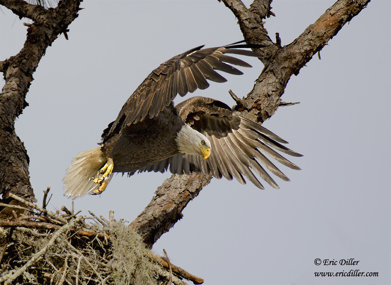 "<a href=""http://www.photographycorner.com/forum/showthread.php?t=96276"">Bald Eagle Likes to Model</a> by <a href=""http://www.photographycorner.com/forum/member.php?u=17674"">Eric Diller</a>"