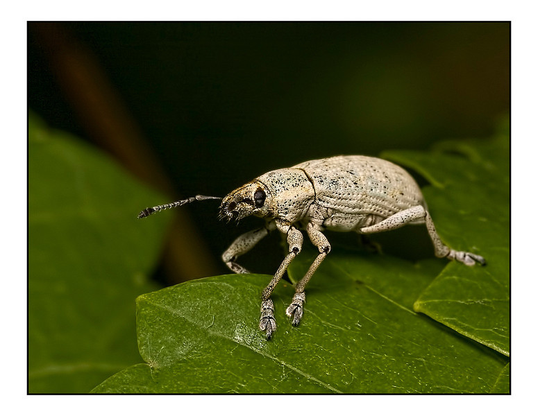 """<a href=""""http://www.photographycorner.com/forum/showthread.php?t=99063"""">White Weevil - Myllocerus Undecimpustulatus</a> by <a href=""""http://www.photographycorner.com/forum/member.php?u=12688"""">jaharris1001</a>"""