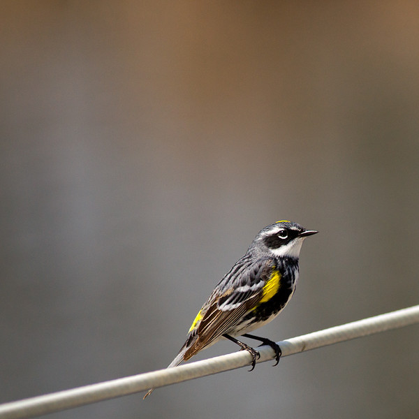 """<a href=""""http://www.photographycorner.com/forum/showthread.php?t=98350"""">Yellow-rumped Warbler</a> by <a href=""""http://www.photographycorner.com/forum/member.php?u=4591"""">CornflakeGirl</a>"""
