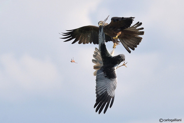 "<a href=""http://www.photographycorner.com/forum/showthread.php?t=98406"">War Among Raptors</a> by <a href=""http://www.photographycorner.com/forum/member.php?u=20004"">carlogalliani</a>"