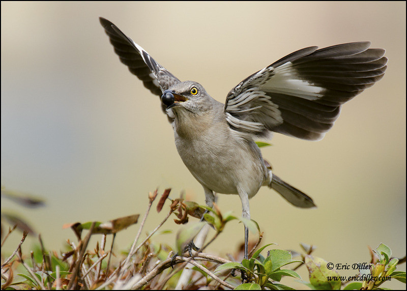 """<a href=""""http://www.photographycorner.com/forum/showthread.php?t=96589"""">Up Close with a Mockingbird</a> by <a href=""""http://www.photographycorner.com/forum/member.php?u=17674"""">Eric Diller</a>"""