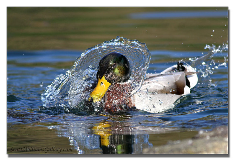 "<a href=""http://www.photographycorner.com/forum/showthread.php?t=96553"">Just a Duck</a> by <a href=""http://www.photographycorner.com/forum/member.php?u=14030"">Scott W</a>"