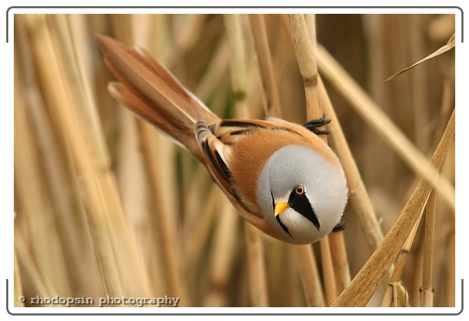 """<a href=""""http://www.photographycorner.com/forum/showthread.php?t=97479"""">Bearded Tit at Titchwell</a> by <a href=""""http://www.photographycorner.com/forum/member.php?u=1930"""">rhodopsin</a>"""