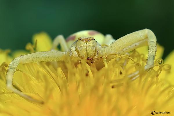 "<a href=""http://www.photographycorner.com/forum/showthread.php?t=101244"">Goldenrod Crab Spider</a> by <a href=""http://www.photographycorner.com/forum/member.php?u=20004"">carlogalliani</a>"